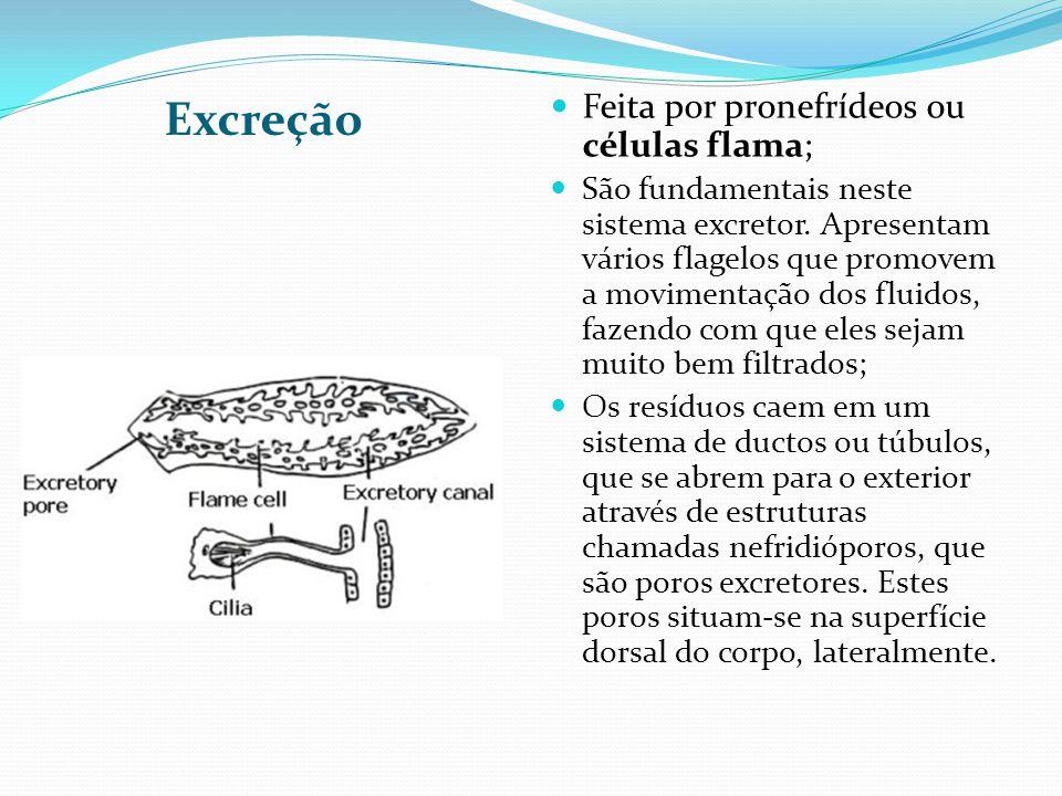 Excreção Feita por pronefrídeos ou células flama;