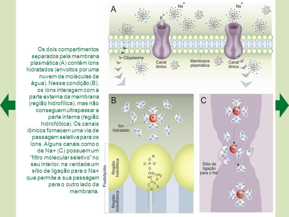 Os dois compartimentos separados pela membrana plasmática (A) contêm íons hidratados (envoltos por uma nuvem de moléculas de água). Nessa condição (B), os íons interagem com a parte externa da membrana (região hidrofílica), mas não conseguem ultrapassar a parte interna (região hidrofóbica). Os canais iônicos fornecem uma via de passagem seletiva para os íons. Alguns canais como o de Na+ (C) possuem um filtro molecular seletivo no seu interior, na verdade um sítio de ligação para o Na+ que permite a sua passagem
