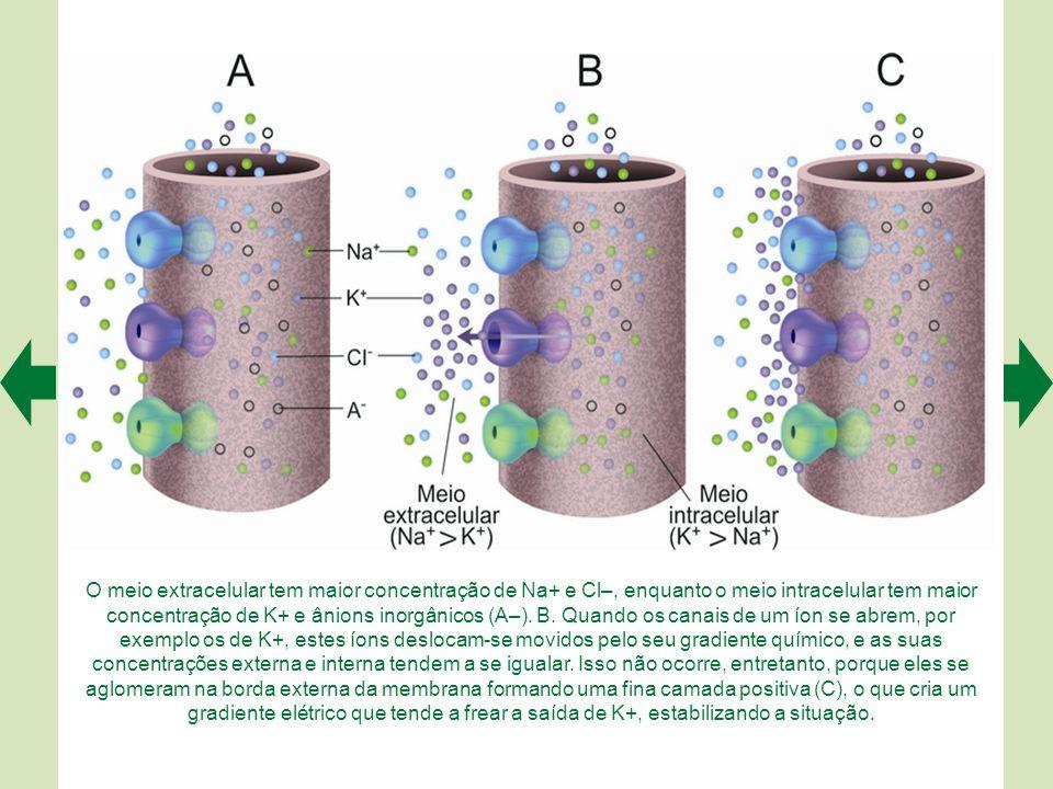O meio extracelular tem maior concentração de Na+ e Cl–, enquanto o meio intracelular tem maior concentração de K+ e ânions inorgânicos (A–). B. Quando os canais de um íon se abrem, por exemplo os de K+, estes íons deslocam-se movidos pelo seu gradiente químico, e as suas concentrações externa e interna tendem a se igualar. Isso não ocorre, entretanto, porque eles se