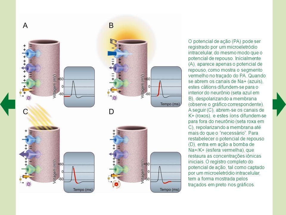O potencial de ação (PA) pode ser registrado por um microeletródio intracelular, do mesmo modo que o potencial de repouso.