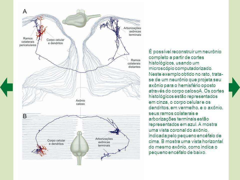 É possível reconstruir um neurônio completo a partir de cortes histológicos, usando um microscópio computadorizado.