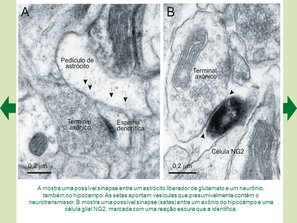 A mostra uma possível sinapse entre um astrócito liberador de glutamato e um neurônio, também no hipocampo.