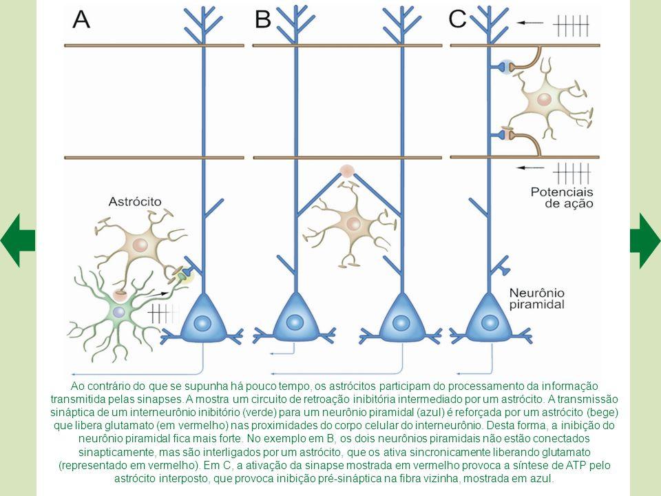 Ao contrário do que se supunha há pouco tempo, os astrócitos participam do processamento da informação transmitida pelas sinapses.