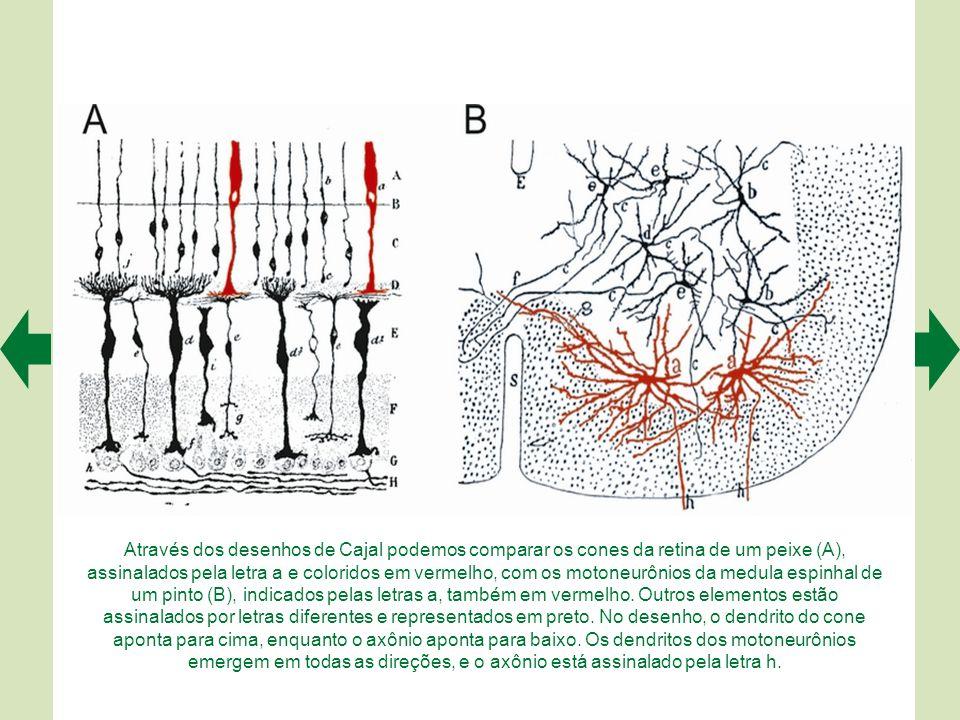 Através dos desenhos de Cajal podemos comparar os cones da retina de um peixe (A), assinalados pela letra a e coloridos em vermelho, com os motoneurônios da medula espinhal de um pinto (B), indicados pelas letras a, também em vermelho.