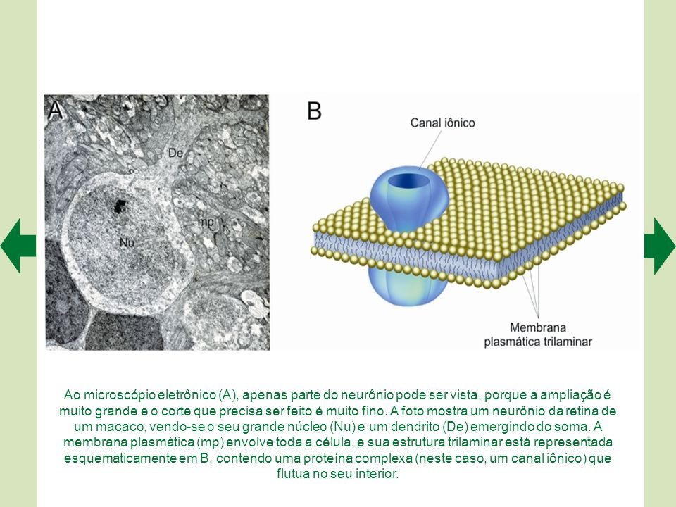 Ao microscópio eletrônico (A), apenas parte do neurônio pode ser vista, porque a ampliação é muito grande e o corte que precisa ser feito é muito fino.