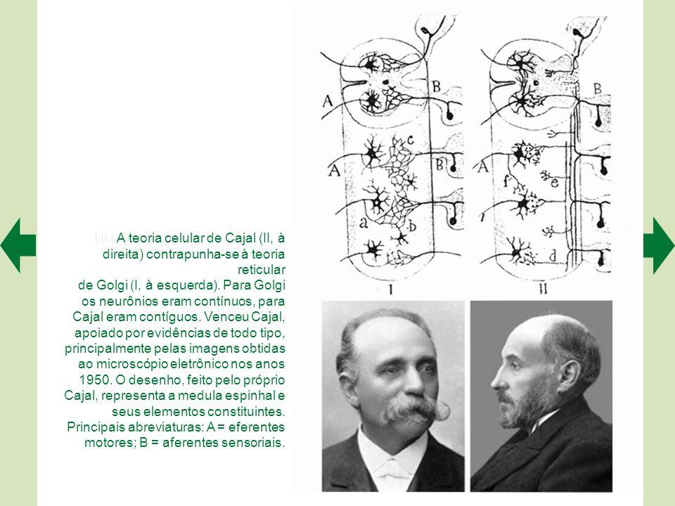  A teoria celular de Cajal (II, à direita) contrapunha-se à teoria reticular