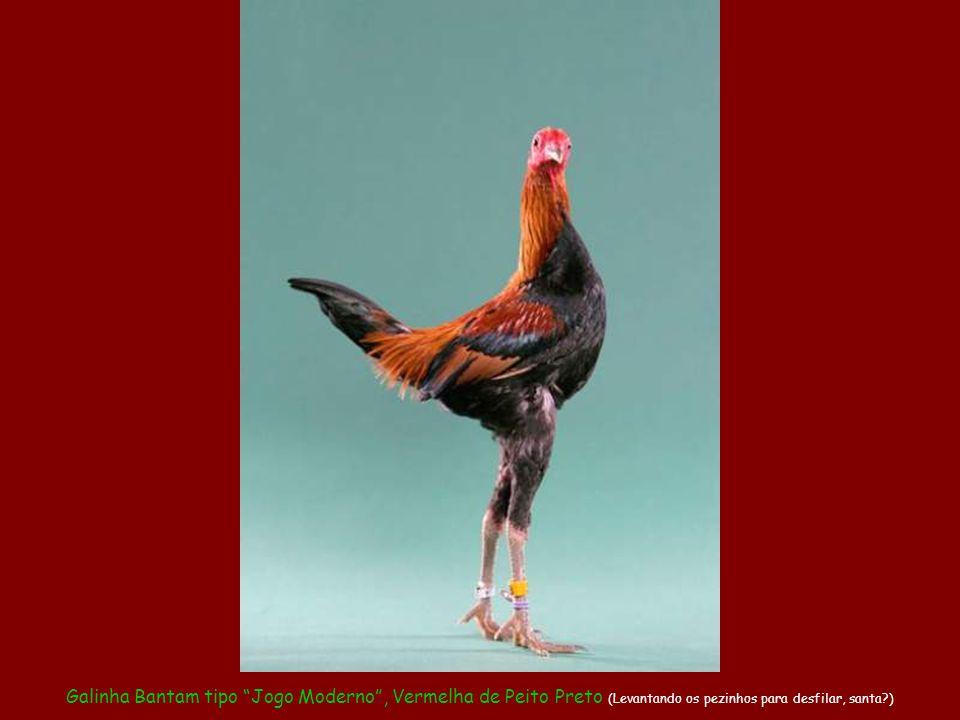 Galinha Bantam tipo Jogo Moderno , Vermelha de Peito Preto (Levantando os pezinhos para desfilar, santa )