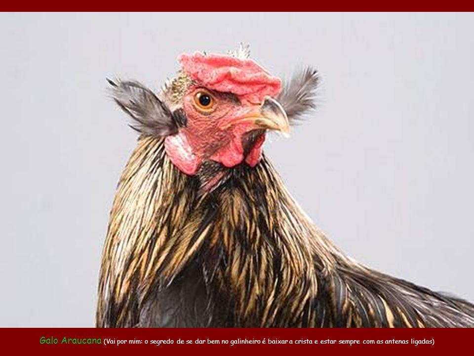 Galo Araucana (Vai por mim: o segredo de se dar bem no galinheiro é baixar a crista e estar sempre com as antenas ligadas)