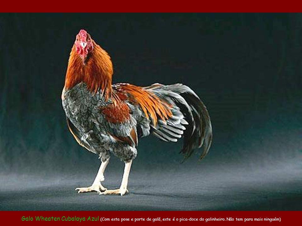 Galo Wheaten Cubalaya Azul (Com esta pose e porte de galã, este é o pica-doce do galinheiro.