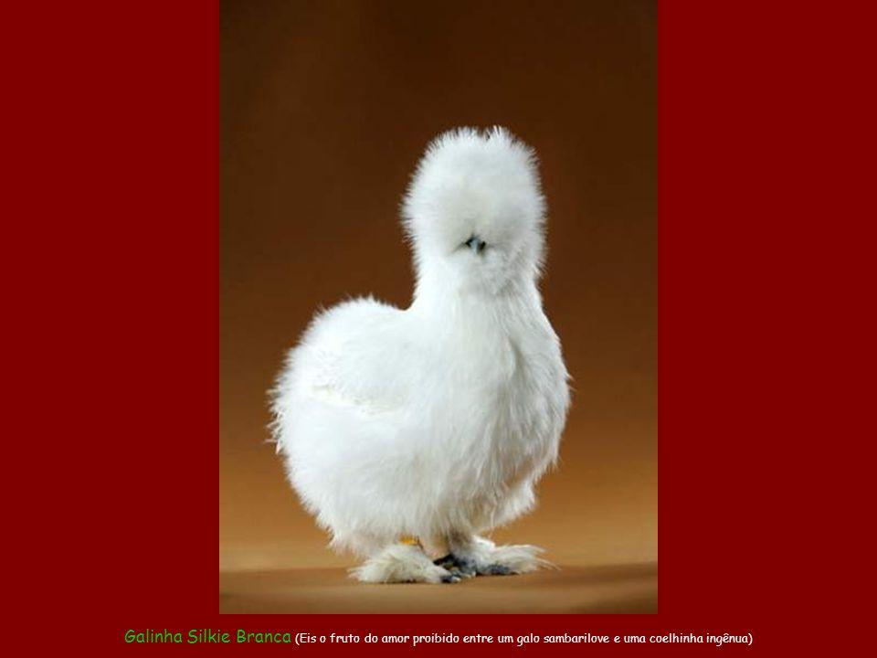 Galinha Silkie Branca (Eis o fruto do amor proibido entre um galo sambarilove e uma coelhinha ingênua)