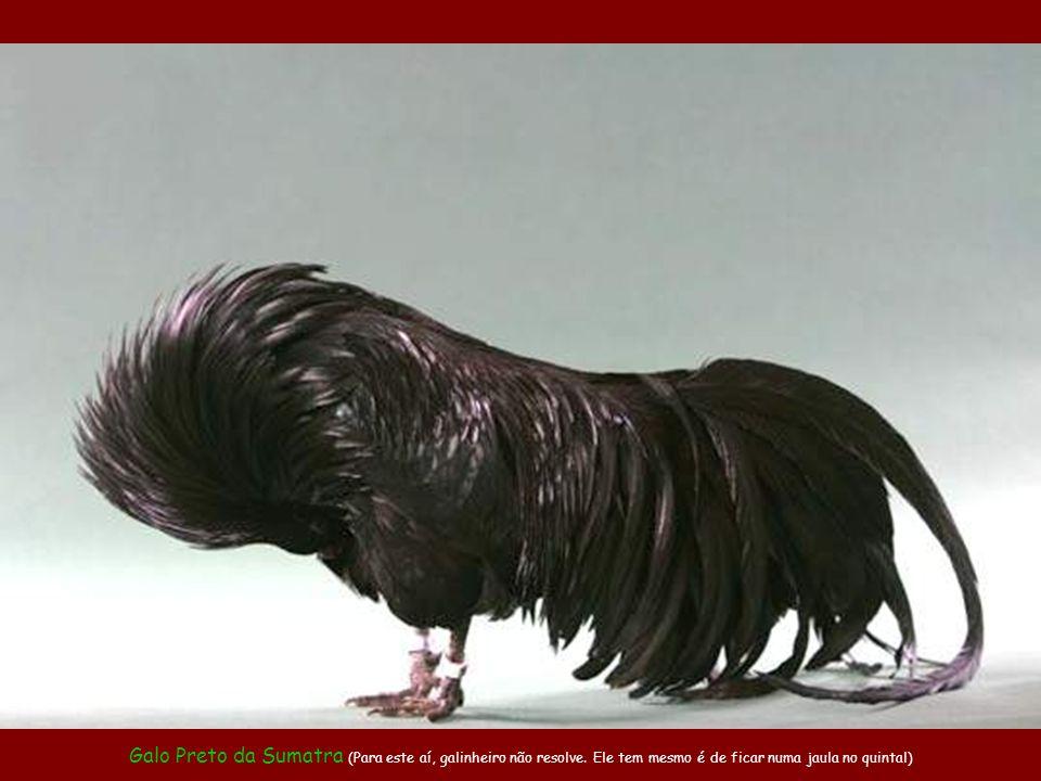 Galo Preto da Sumatra (Para este aí, galinheiro não resolve