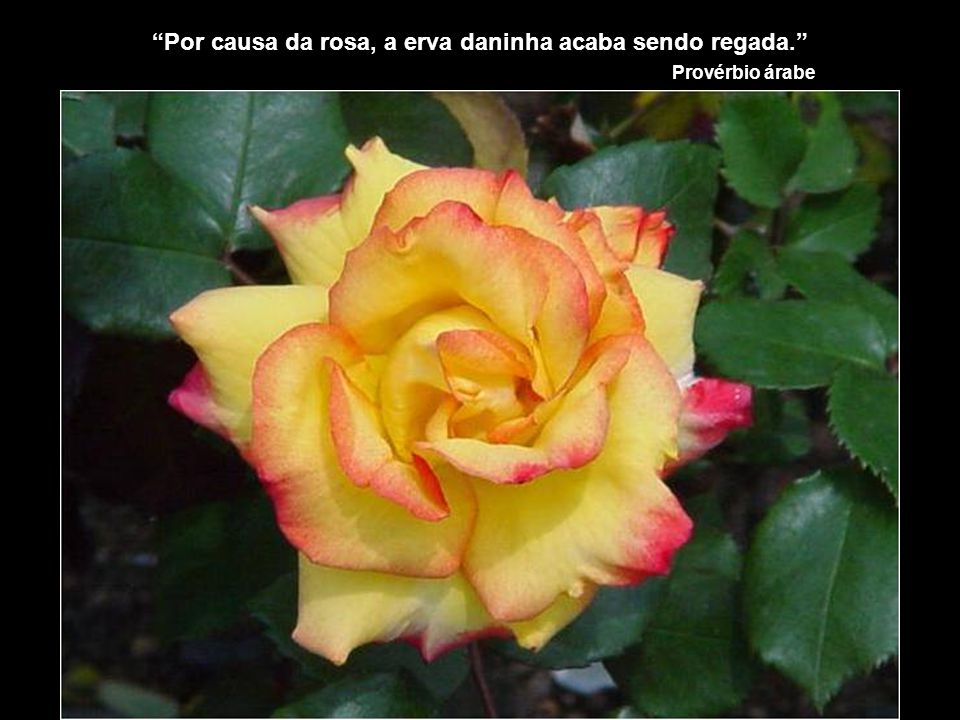 Por causa da rosa, a erva daninha acaba sendo regada.
