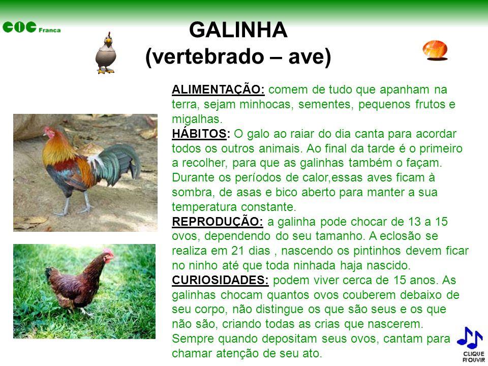 GALINHA (vertebrado – ave)