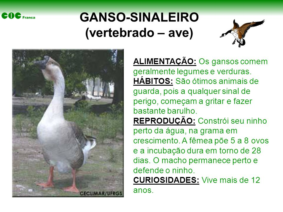GANSO-SINALEIRO (vertebrado – ave)