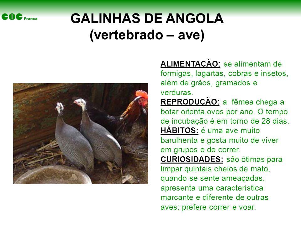 GALINHAS DE ANGOLA (vertebrado – ave)
