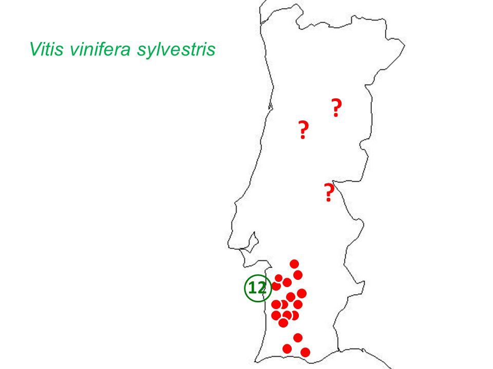 Vitis vinifera sylvestris 12
