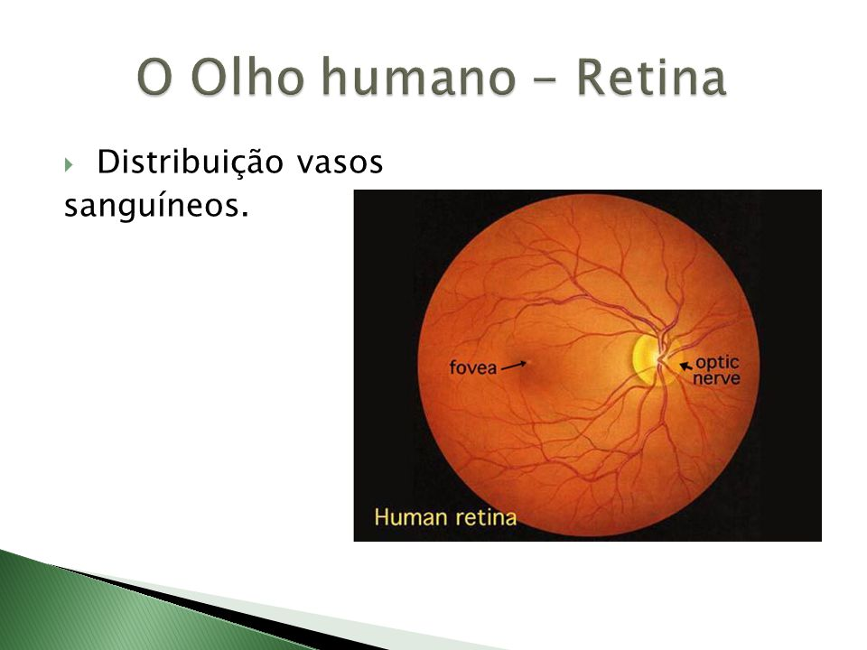 O Olho humano - Retina Distribuição vasos sanguíneos.