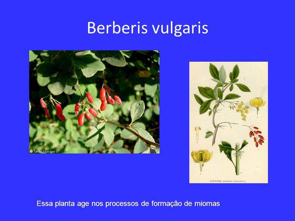 Berberis vulgaris Essa planta age nos processos de formação de miomas