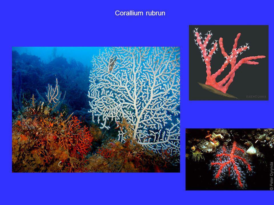 Corallium rubrun