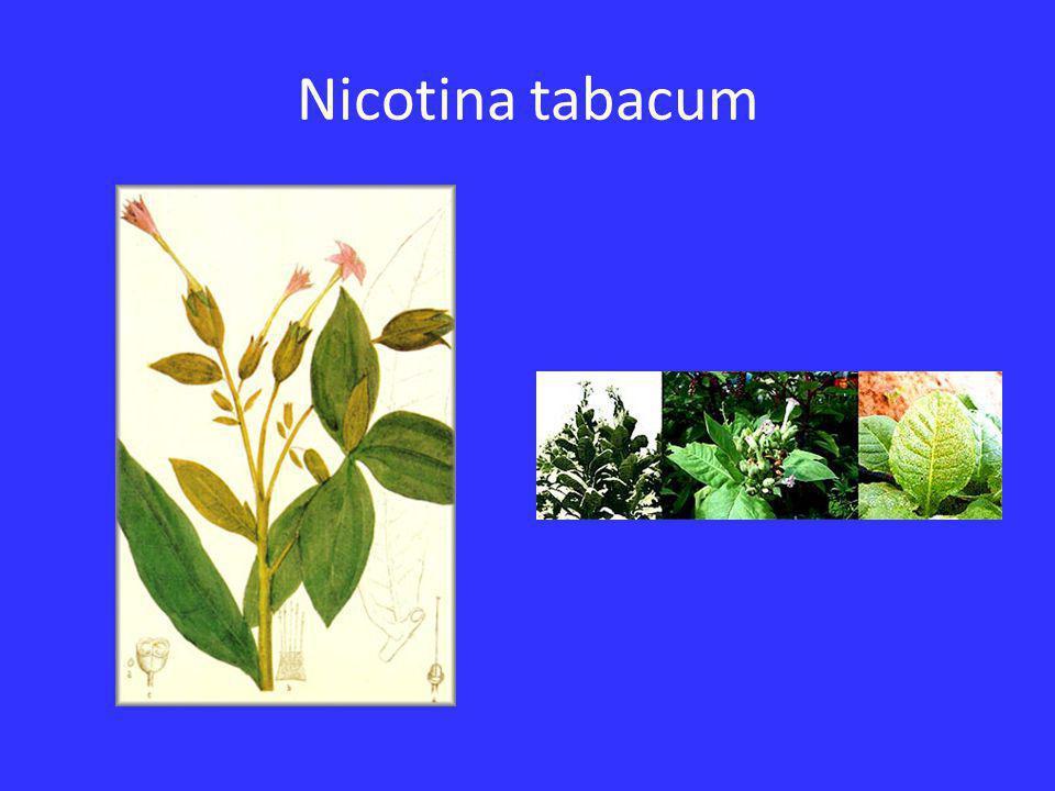 Nicotina tabacum