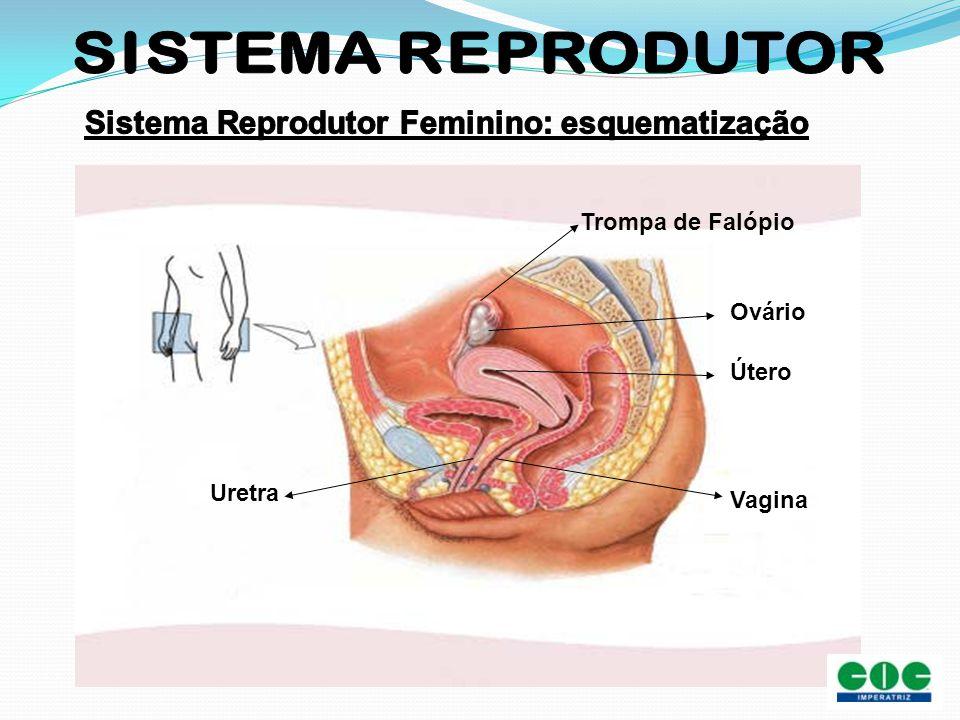 Sistema Reprodutor Feminino: esquematização