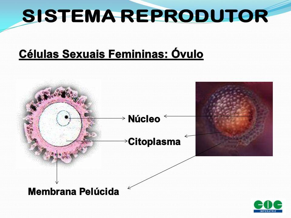 Células Sexuais Femininas: Óvulo