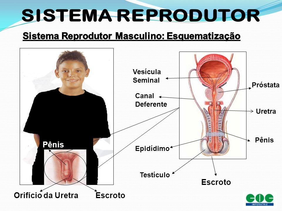 Sistema Reprodutor Masculino: Esquematização