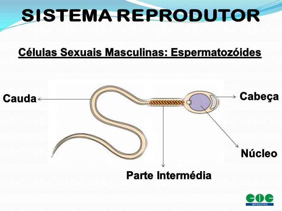 Células Sexuais Masculinas: Espermatozóides