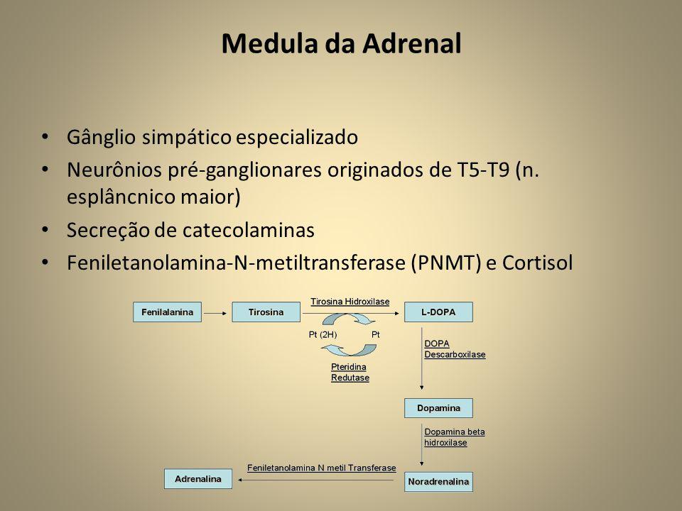 Medula da Adrenal Gânglio simpático especializado