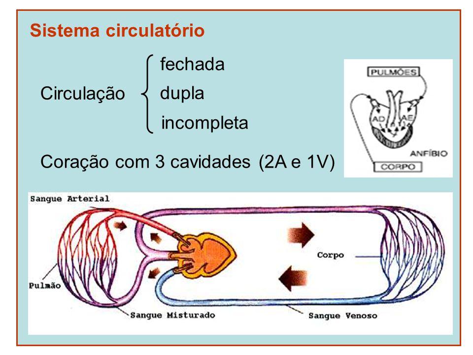 Sistema circulatório fechada Circulação Coração com 3 cavidades (2A e 1V) dupla incompleta