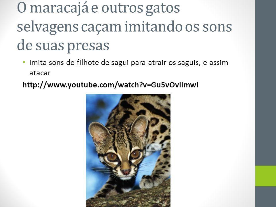 O maracajá e outros gatos selvagens caçam imitando os sons de suas presas