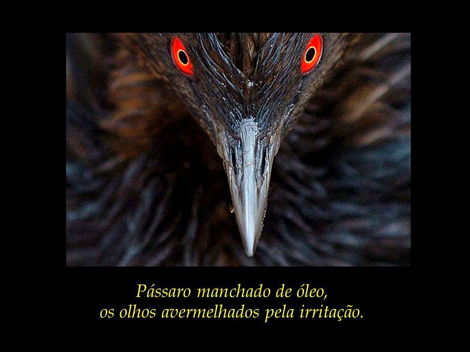 Pássaro manchado de óleo, os olhos avermelhados pela irritação.