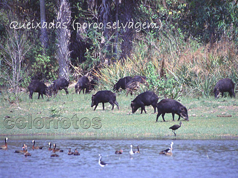 Queixadas (porco selvagem)