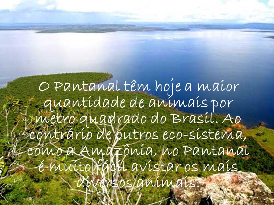 O Pantanal têm hoje a maior quantidade de animais por metro quadrado do Brasil.