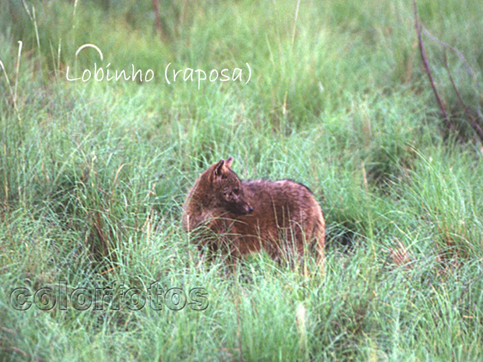 Lobinho (raposa)