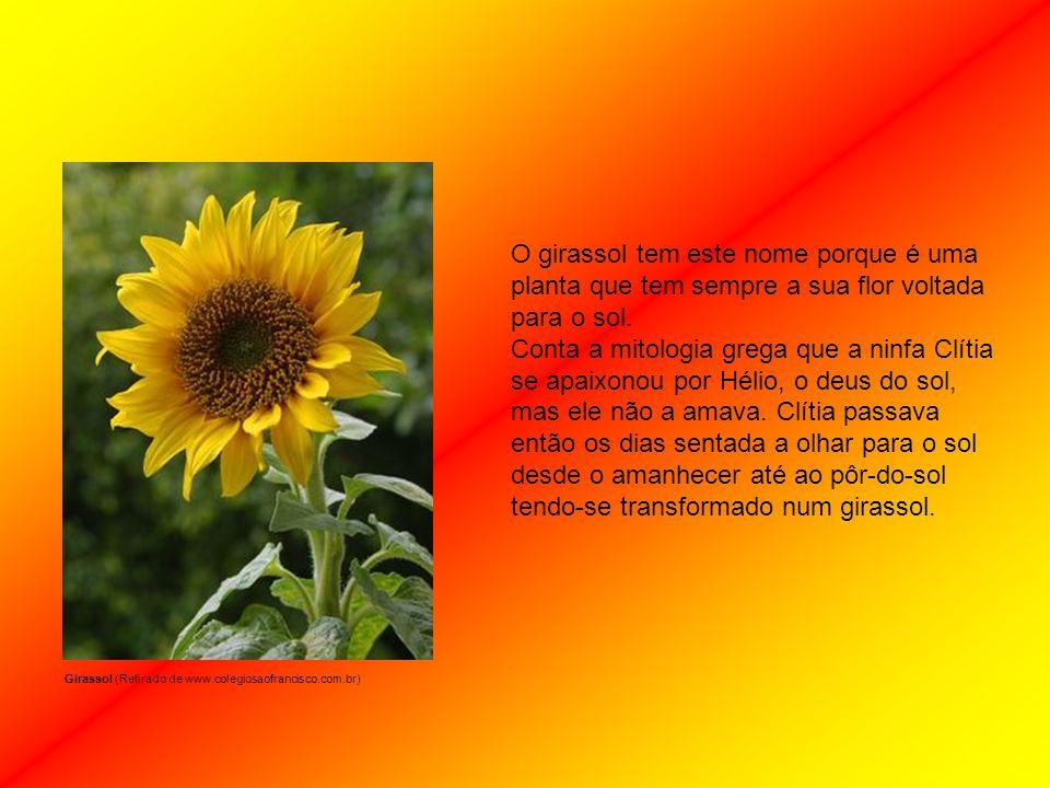 Girassol (Retirado de www.colegiosaofrancisco.com.br)