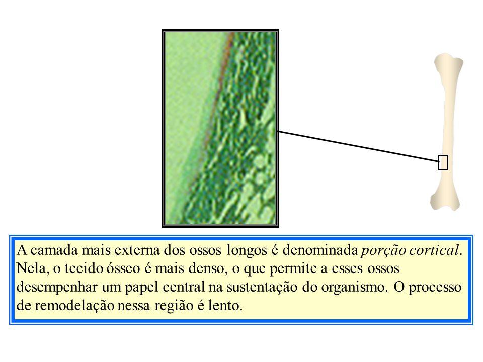 A camada mais externa dos ossos longos é denominada porção cortical