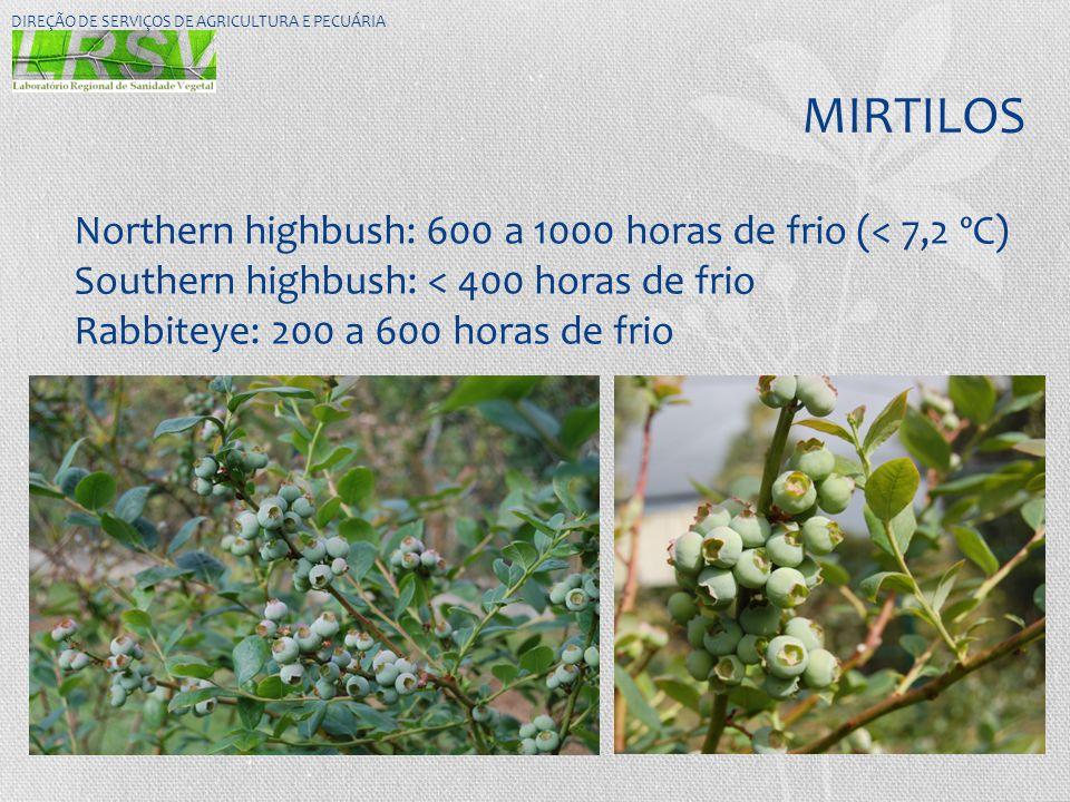 MIRTILOS Northern highbush: 600 a 1000 horas de frio (< 7,2 ºC)