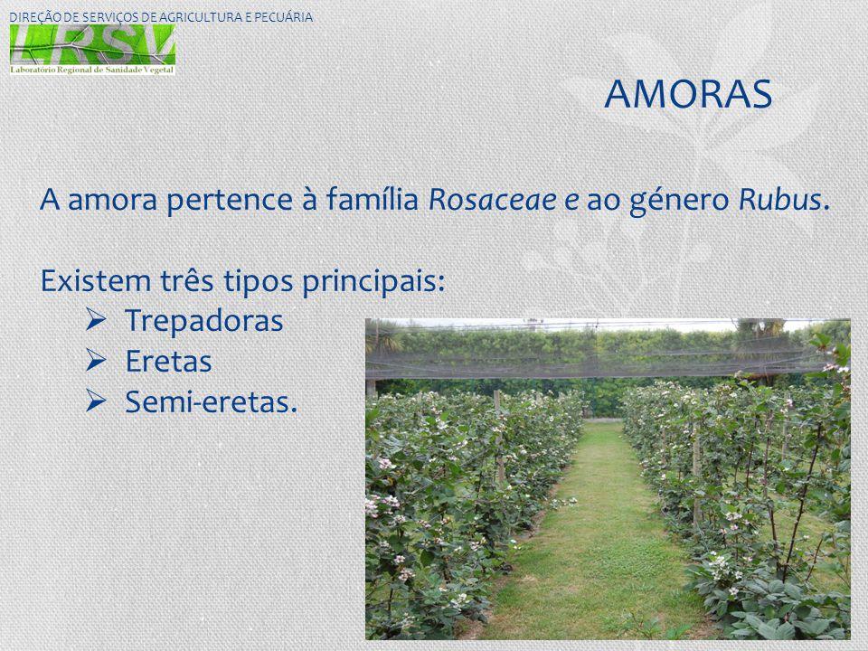 AMORAS A amora pertence à família Rosaceae e ao género Rubus.