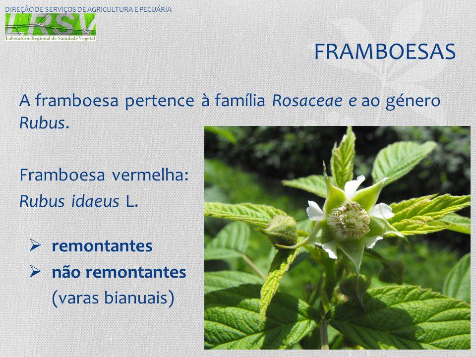 FRAMBOESAS A framboesa pertence à família Rosaceae e ao género Rubus.