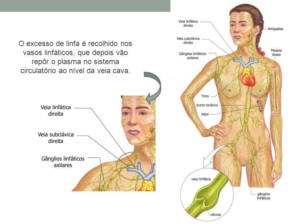 O excesso de linfa é recolhido nos vasos linfáticos, que depois vão repôr o plasma no sistema circulatório ao nível da veia cava.