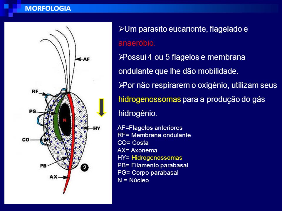 Um parasito eucarionte, flagelado e anaeróbio.