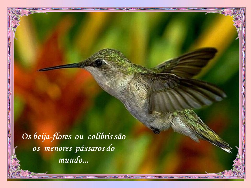 Os beija-flores ou colibris são os menores pássaros do mundo...