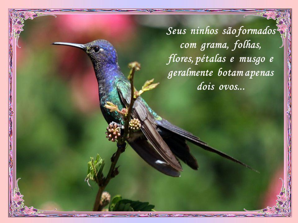 Seus ninhos são formados com grama, folhas, flores, pétalas e musgo e geralmente botam apenas dois ovos...