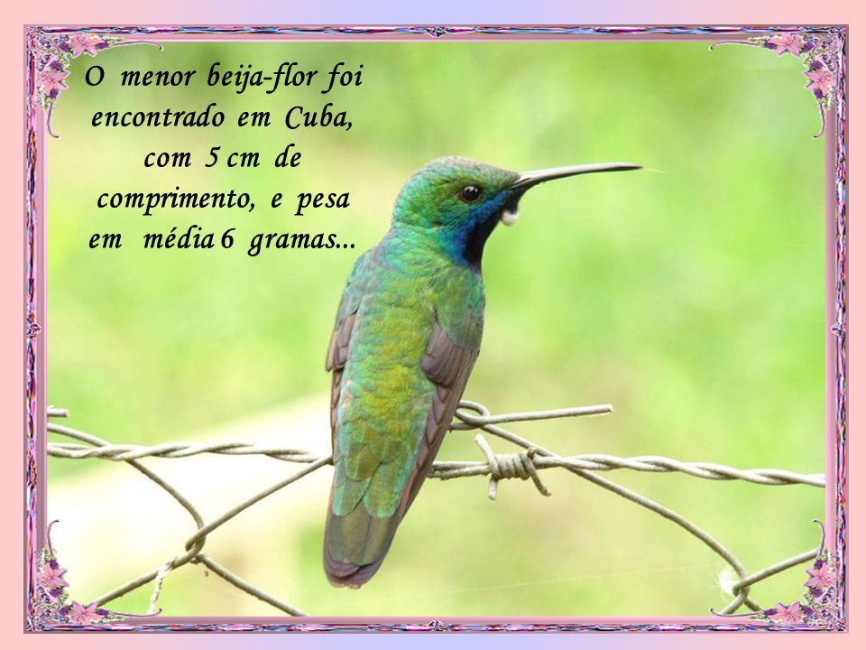 O menor beija-flor foi encontrado em Cuba, com 5 cm de comprimento, e pesa em média 6 gramas...