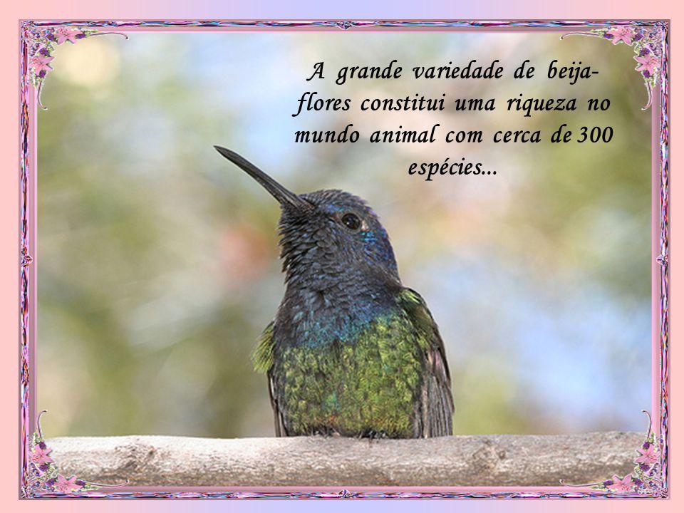 A grande variedade de beija-flores constitui uma riqueza no mundo animal com cerca de 300 espécies...