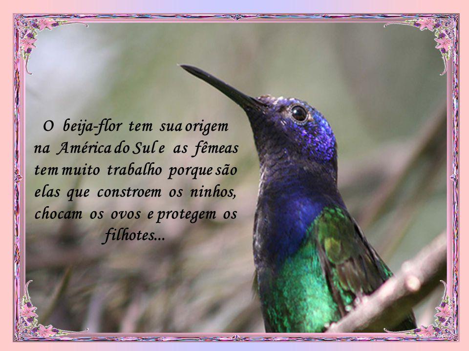 O beija-flor tem sua origem na América do Sul e as fêmeas tem muito trabalho porque são elas que constroem os ninhos, chocam os ovos e protegem os filhotes...