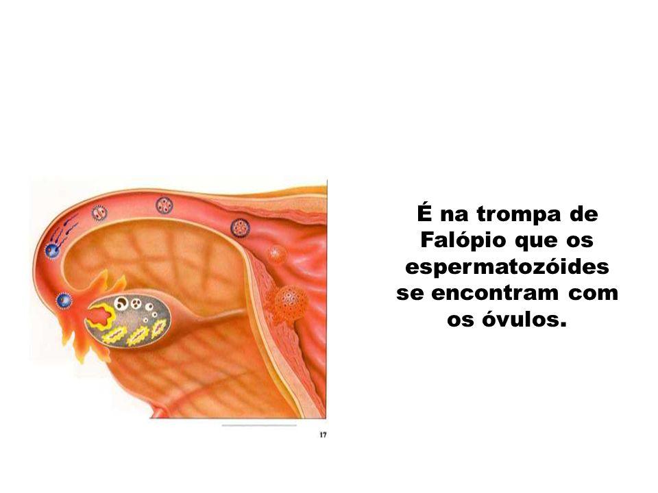 É na trompa de Falópio que os espermatozóides se encontram com os óvulos.
