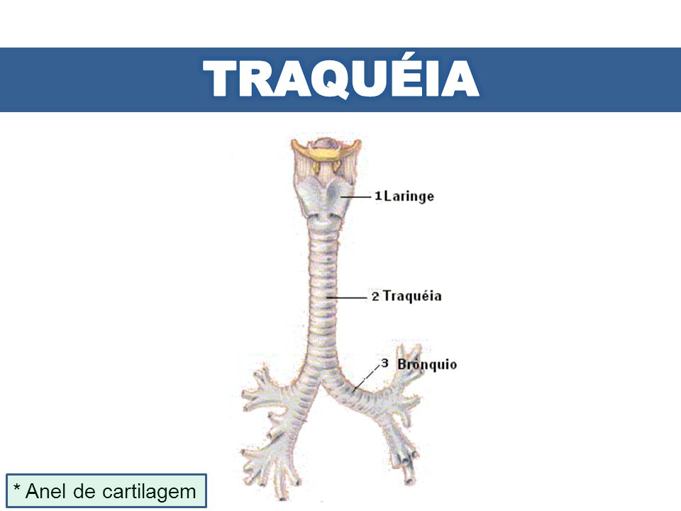 TRAQUÉIA * Anel de cartilagem