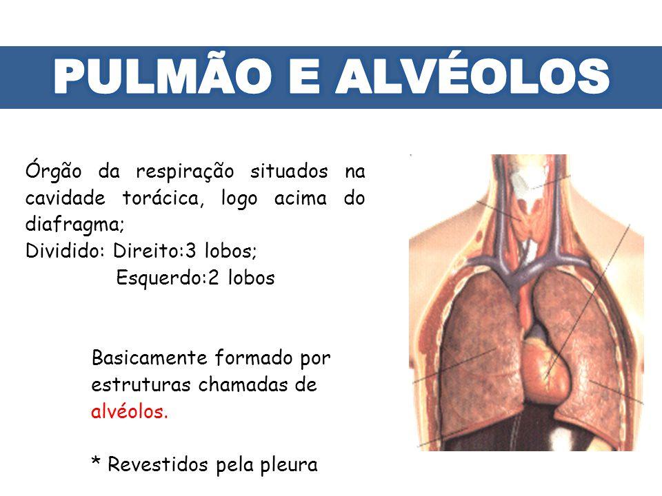 PULMÃO E ALVÉOLOS Órgão da respiração situados na cavidade torácica, logo acima do diafragma;